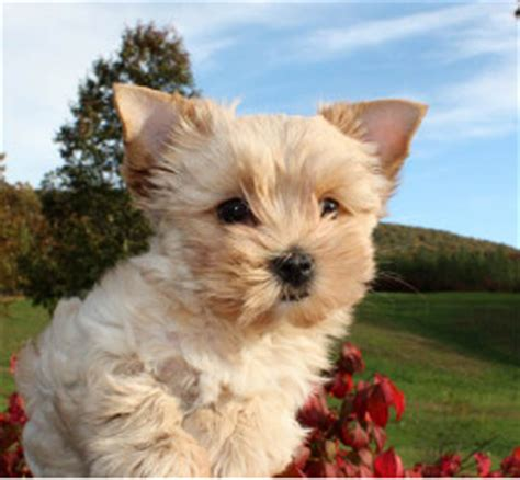gold dust yorkies for sale biewer golddust terrier puppies for sale virginia