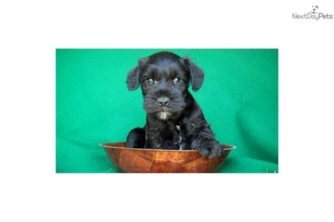 miniature schnauzer puppies for sale in michigan schnauzer miniature puppy for sale near arbor michigan 4563186d 3c01