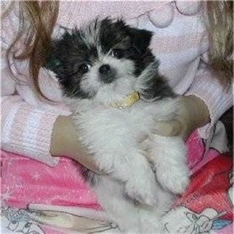 shih tzu papillon papastzu breed information and pictures