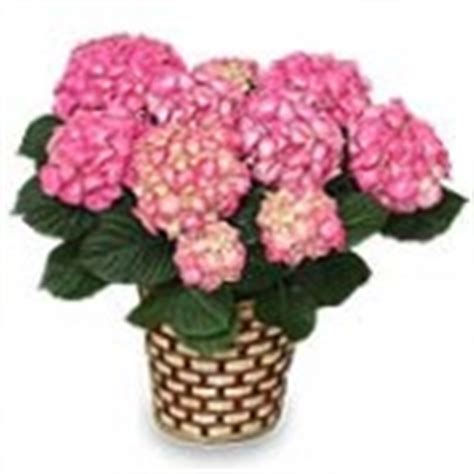 are hydrangeas poisonous to dogs 10 houseplants poisonous to dogs cats or children