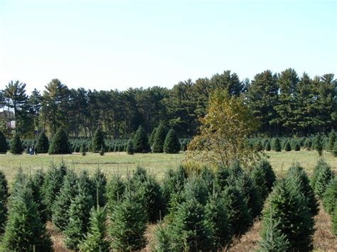 cut your own tree in carrol county md schroeder s forevergreens cut your own tree farm christmastreefarms net