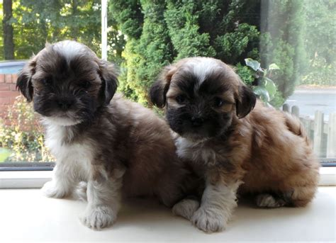 kyi leo puppies for sale kyi leo lhasa apso x maltese puppies for sale castleford west pets4homes