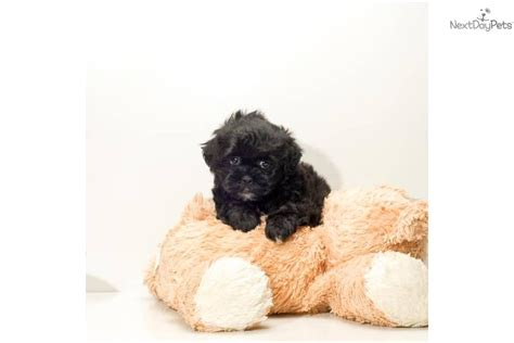 teacup teddy puppies teddy puppies on teddy teacup small breed teacup puppy breeds picture