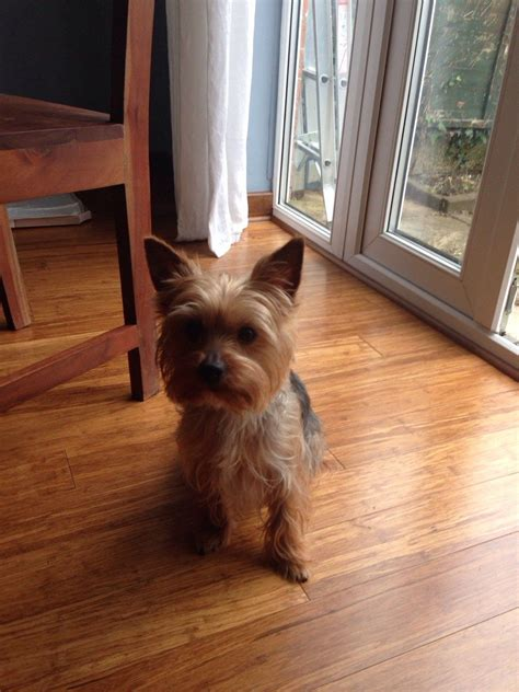 2 year yorkie for sale 2 year yorkie wellingborough northtonshire pets4homes