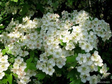 fiori biancospino flowers