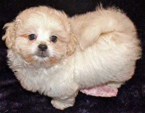 peekapoo puppies peekapoo puppy for sale