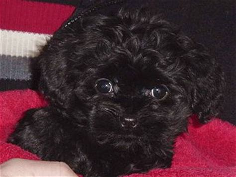 black cockapoo puppy black coloured cockapoo puppy picture to pin on thepinsta