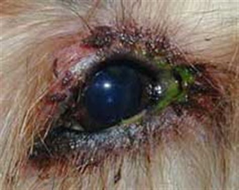 yorkie eye drainage skin allergy allergic dermatitis animal hospital