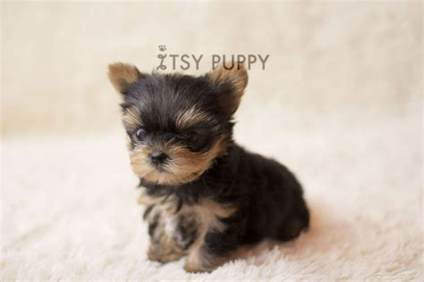 micro teacup yorkie sold toto micro teacup yorkie itsy puppy teacup microteacup puppies for