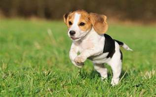 puppy wallpaper beagle puppy wallpapers wallpaper cave