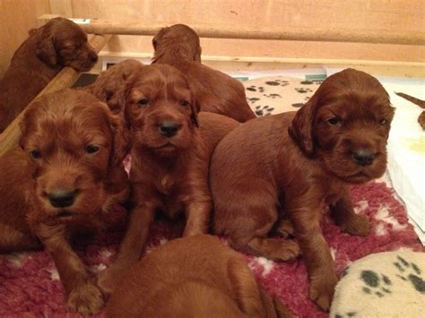 setter dogs for sale irish red setter puppies for sale southton hshire