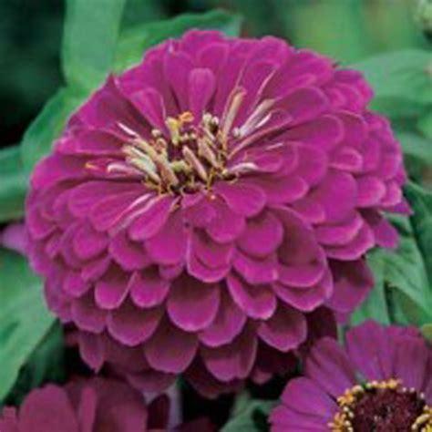 Johnsons Seeds Zinnia Sprite Mixed zinnia zinnia purple prince wexthuset