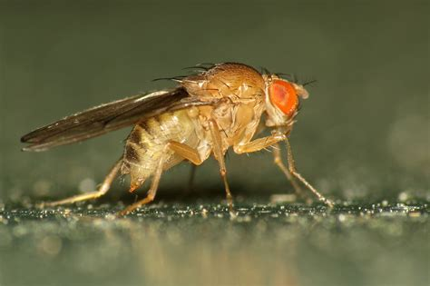 fruit fly size file fruit fly drosophila immigrans 13114869053 jpg