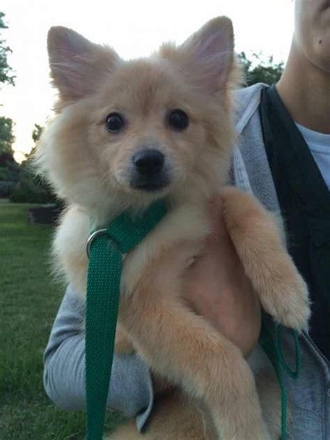 pomeranian chi 25 best ideas about pomeranian chihuahua on baby dogs puppies