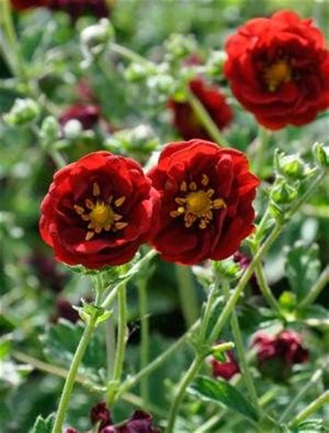 17 best images about potentilla varieties on pinterest shrubs spreads and best practice