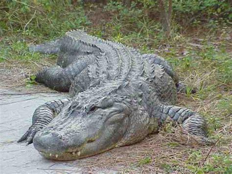 CurrenceWiki - american alligator - eve brown