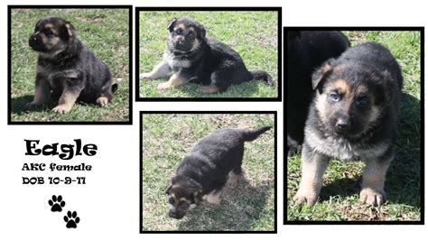 german shepherd puppies okc german shepherd puppy oklahoma dogs in our photo