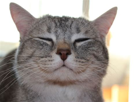 The Smile Of The Cat post the happiest cats who show the best smiles bored panda