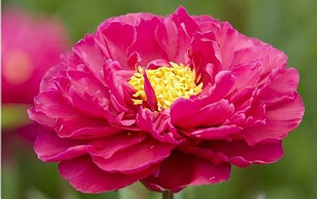 grow peonies telegraph