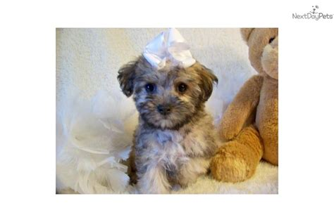 how much are yorkie poo puppies sold yorkiepoo yorkie poo puppy for sale near st louis missouri