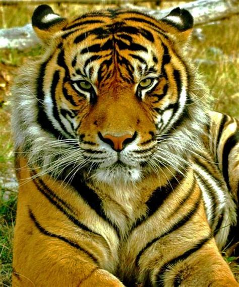 gambar harimau sumatra