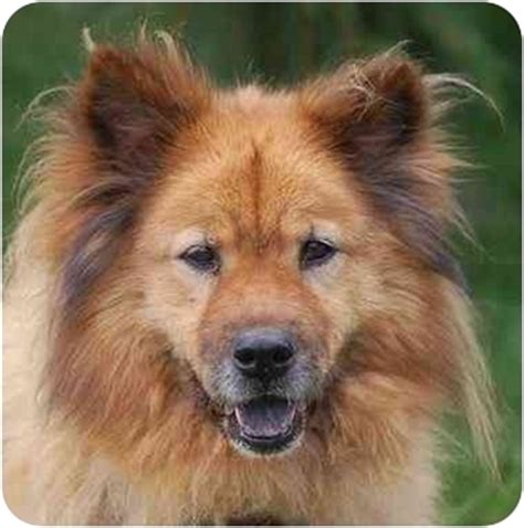 golden retriever chow mix for sale golden retriever minnesota breeds picture