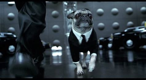 frank the pug in black frank the pug in black