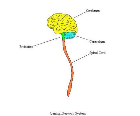 central nervous system diagram centralnervoussystemcompletediagram