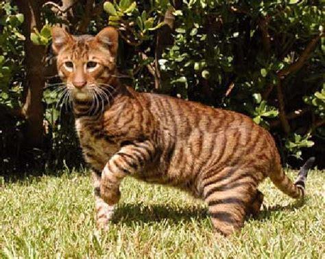 ShangralaFamilyFun.com   Shangrala's Toyger Mini Tiger!