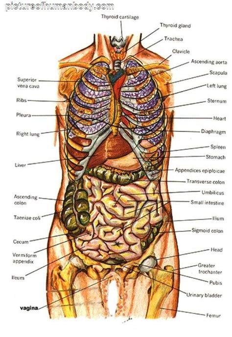 organs diagram diagram of human organs picture of organs