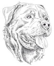 coloriage de chien rottweiler
