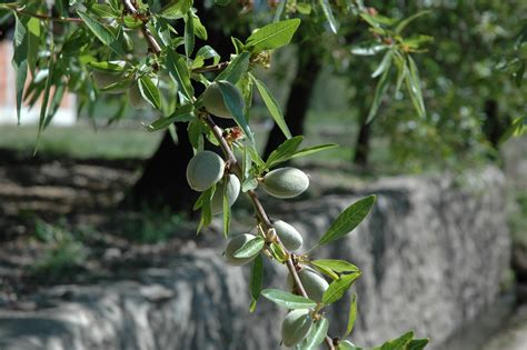 almond fruit tree 404 page not found error feel like you re in the