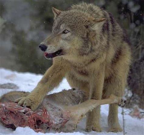 imagenes de la familia wolf artemisa lobos una historia m 225 gica y esot 233 rica