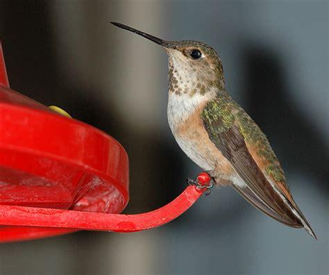 rufous hummingbird photo gallery 169 bill schmoker