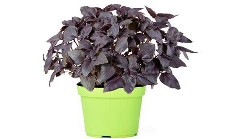 concime per basilico in vaso pianta di basilico rosso in vaso 10 cm savini vivai di