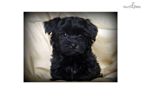 havanese shedding meet tucker a havanese puppy for sale for 500 adorable havanese non shedding