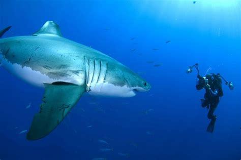imagenes impresionantes de tiburones galer 237 a de im 225 genes tibur 243 n blanco