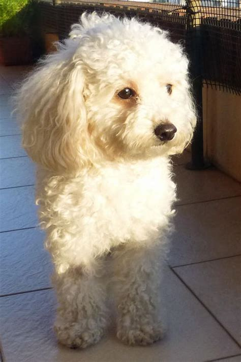 mini poodle grown camila the poodle dogs daily puppy