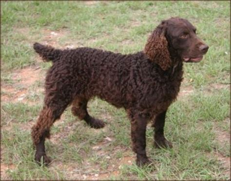 boykin spaniel puppies for sale in sc afghan hounds pitbull kennels for sale boykin spaniels for sale in nc