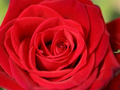rose s rose red beautiful roses rose pictures red roses photos
