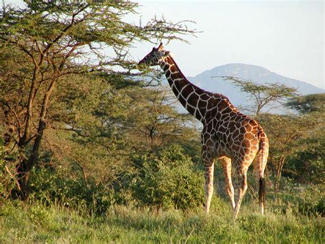 google images giraffe google image giraffes in africa a deal kenya african