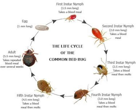 bed bug reproduction rate 77 best images about preschool april on pinterest