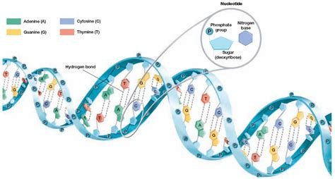 diagram and label a section of dna biology diva chapter 9