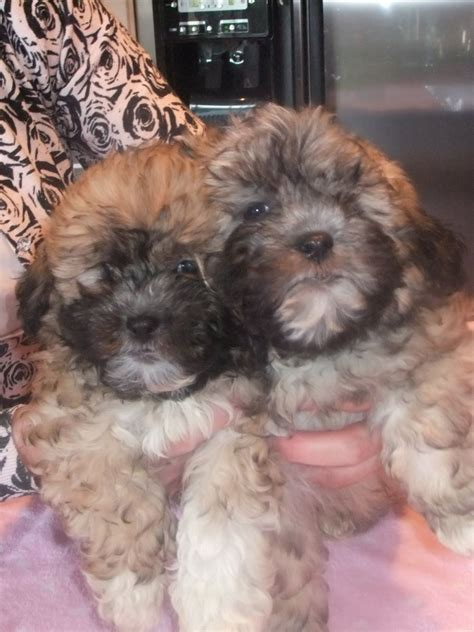 shih tzu puppies for sale scotia shih tzu puppies for sale bedford breeds picture