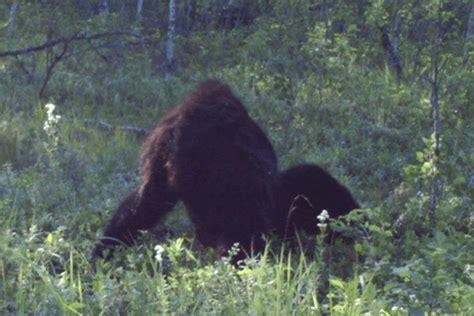 best bigfoot best picture of bigfoot taken in alberta canada in
