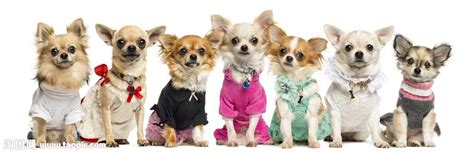 Do Hair Chihuahua Shed by
