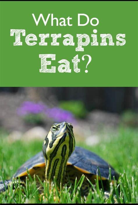 what do terrapins eat pbs pet travel