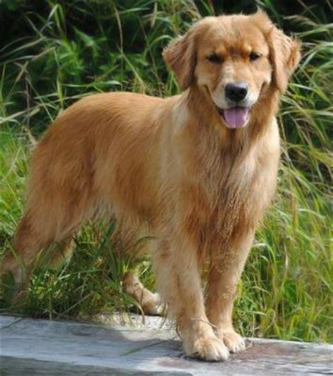 golden retrievers scotia breeders of golden retrievers in scotia dogs in our photo