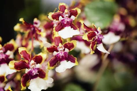 oncidium orchids care  growing tips