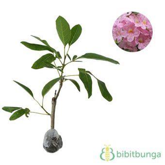 Bibit Bunga Tabebuia Tanaman Tabebuia Rosea Bibitbunga